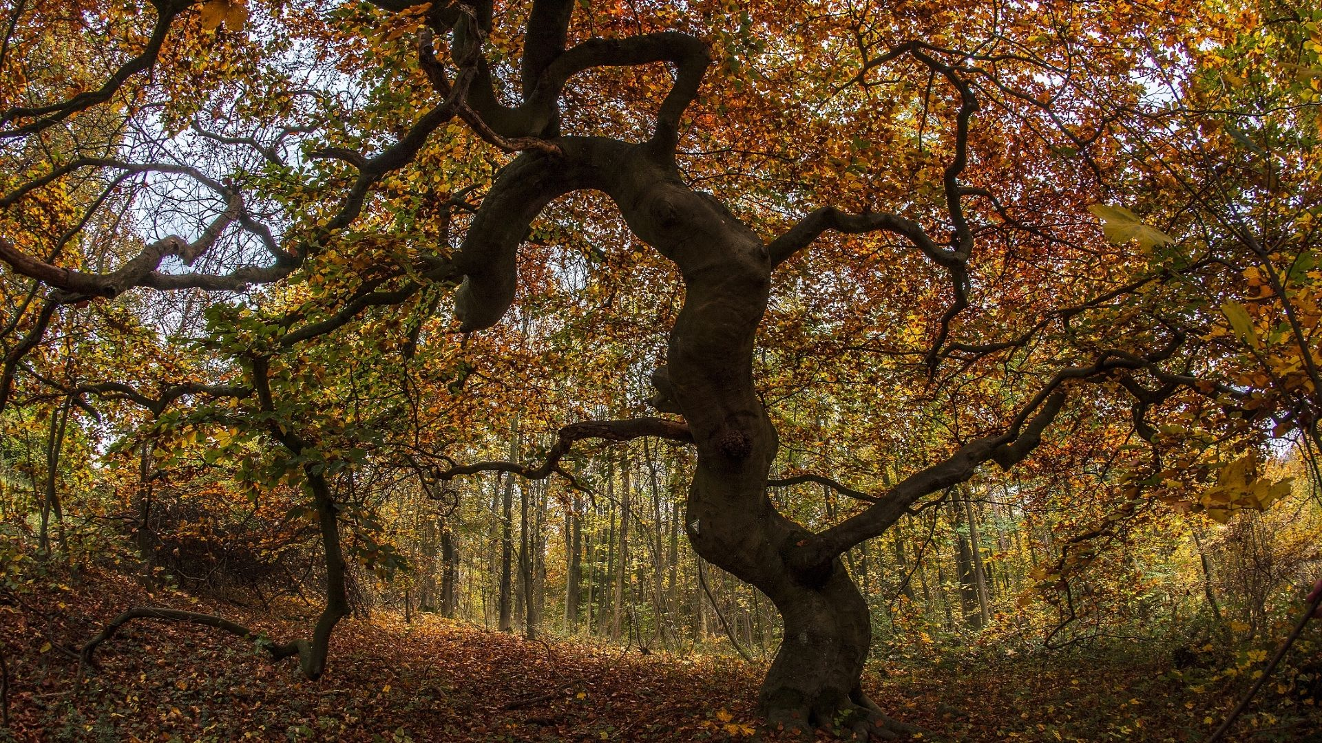 Süntel-Buche Herbst, Foto: Touristikzentrum Westliches Weserbergland