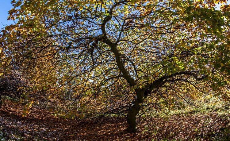 Suentelbuche Herbst2 1